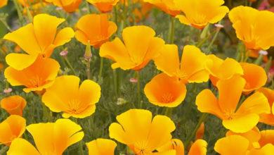 Photo of نحوه کاشت، پرورش و مراقبت از گل شقایق کالیفرنیا پاکوتاه الوان