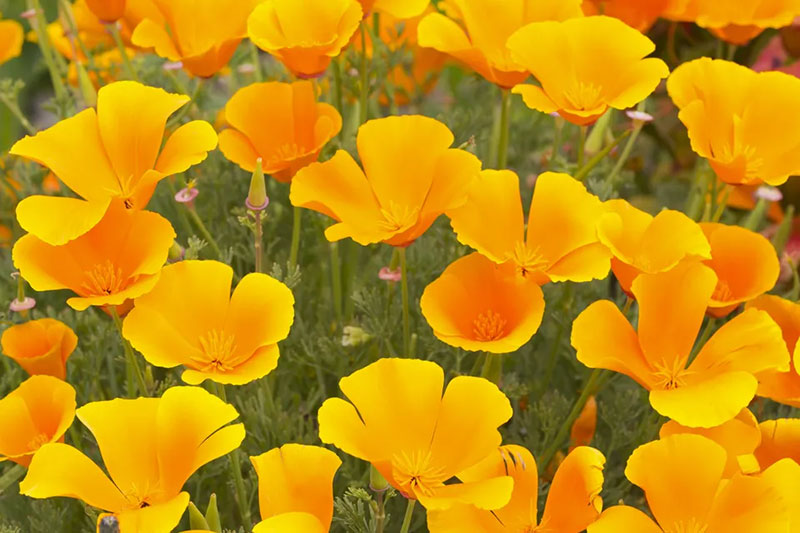 6 اصول پرورش و مراقبت از شقایق کالیفرنیا