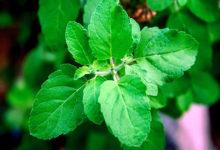 Photo of چگونه گیاه ریحان مقدس را پرورش دهیم؟