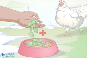 2 اصول غذا دادن به مرغ در زمستان