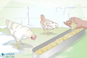 3 اصول غذا دادن به مرغ در زمستان