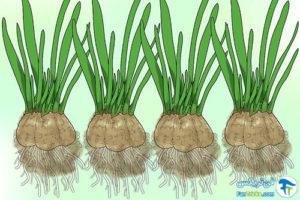 3 تکثیر گیاه گل برفی