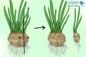 4 تکثیر گیاه گل برفی