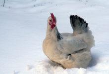 Photo of چگونه در طول زمستان به مرغ ها غذا بدهیم؟