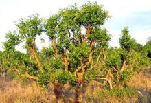 Photo of فواید، مضرات و موارد استفاده از گیاه دارویی یوهیمبین