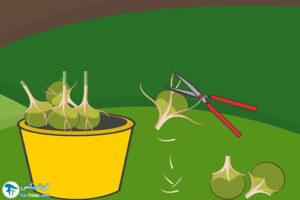 3 اصول نگهداری از پیاز گل نرگس