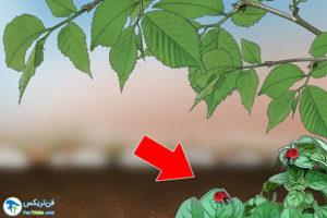 3 روش جذب کفشدوزک ها به باغ و باغچه