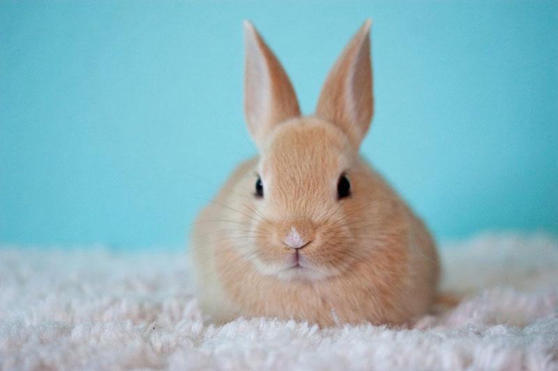 3 از بین بردن کک بدن خرگوش