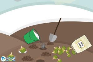 5 کاشت گلنرگس