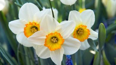 Photo of چگونه پیاز گل نرگس را برای کاشت سال بعد نگهداری کنیم؟