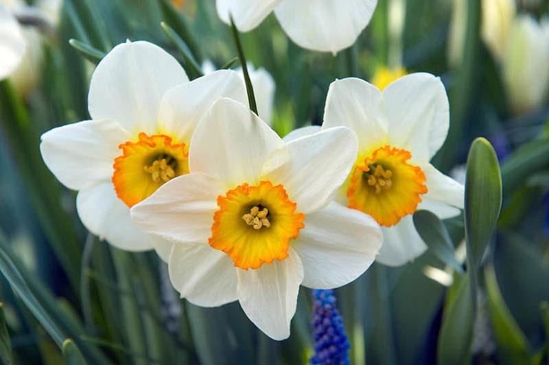 6 اصول نگهداری از پیاز گل نرگس