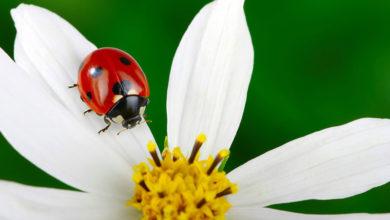 Photo of چگونه کفشدوزک ها را به مزرعه، باغ و باغچه جذب کنیم؟