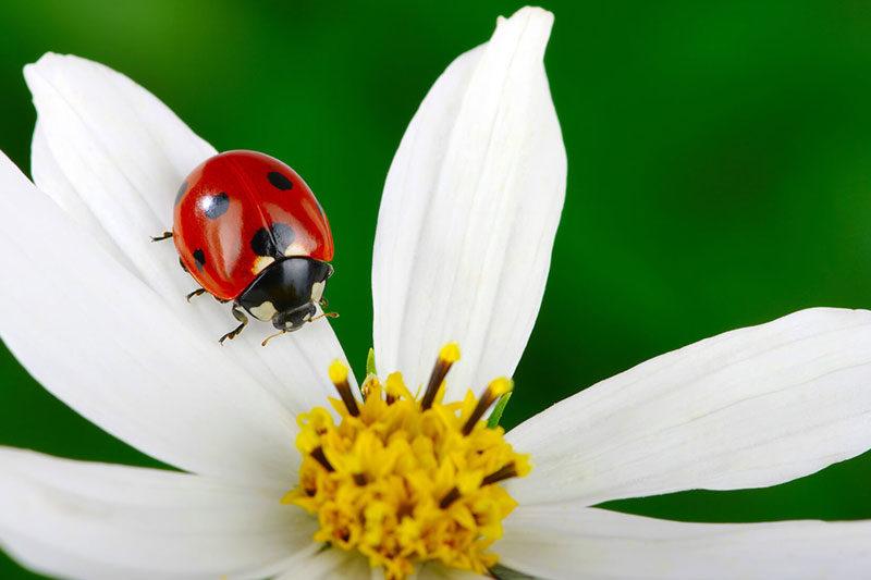 6 روش جذب کفشدوزک ها به باغ و باغچه