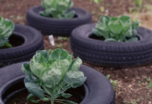 Photo of خطرات استفاده از تایر یا لاستیک ماشین به عنوان گلدان سبزیجات
