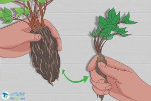 6 نحوه تقسیم گیاه Astilbe