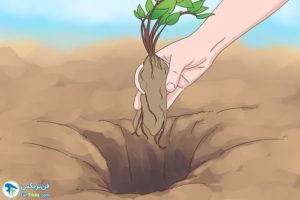 7 نحوه تقسیم گیاه Astilbe