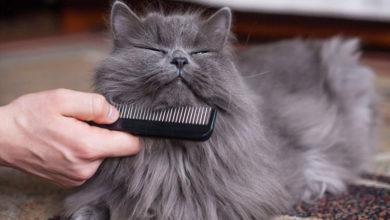 Photo of چگونه موهای گربه را نرم و براق کنیم؟
